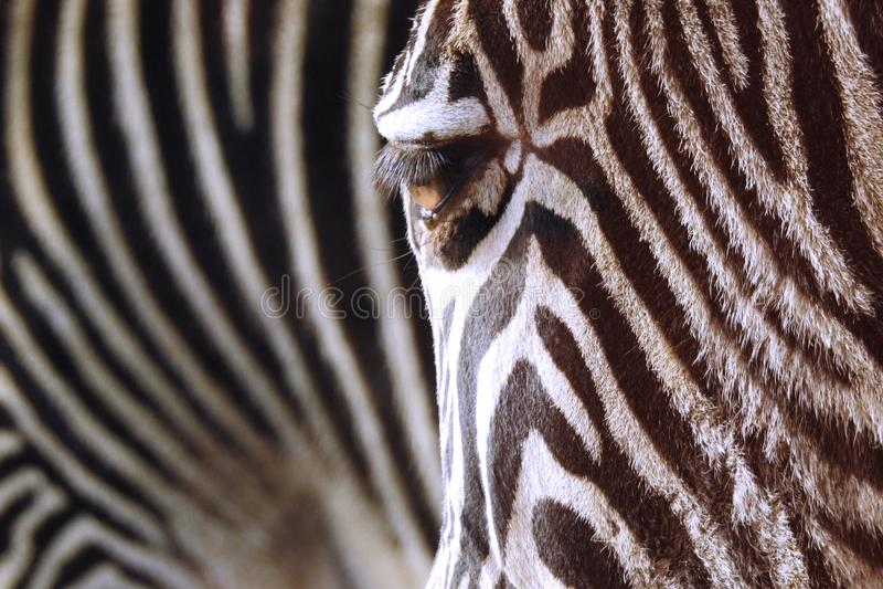 Zebra Stripes Living Animal Print stock images