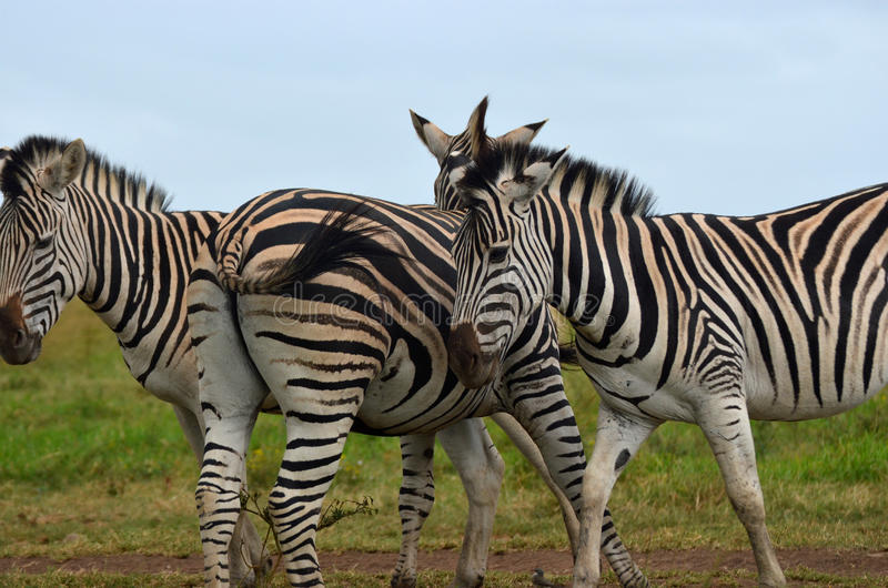 Zebra stripes royalty free stock photo
