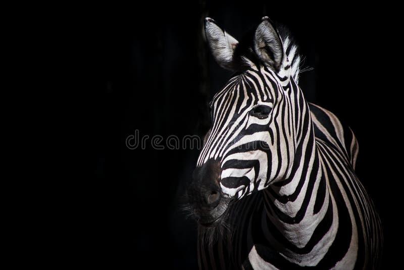 Zebra su fondo nero fotografie stock