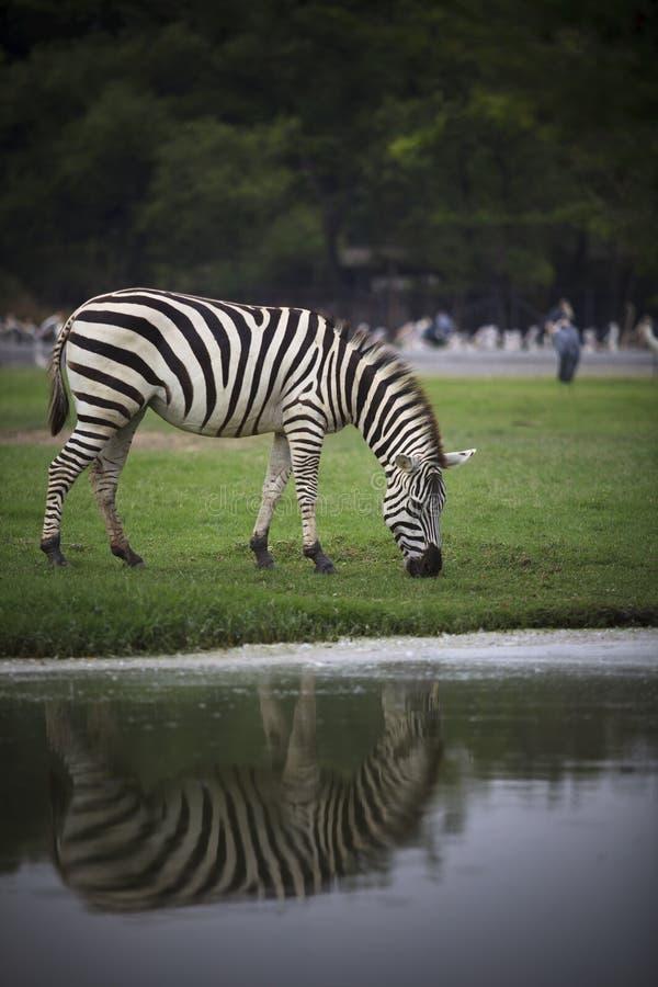 Zebra sull'ente completo del campo di erba verde fotografia stock libera da diritti