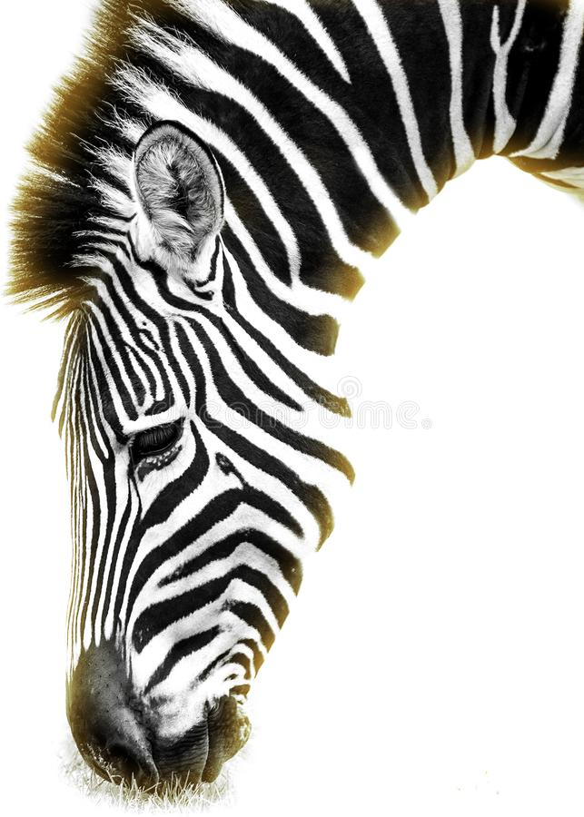 Zebra sun black and white. Wildlife stock photography