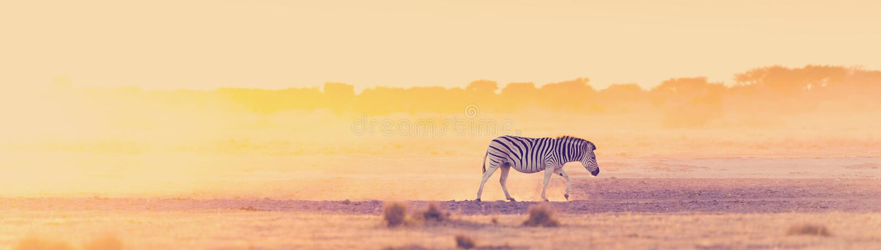Zebra Sunset Afryka obrazy royalty free