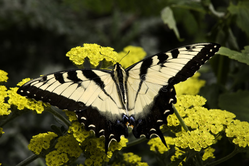 Download Zebra Swallowtail Butterfly Stock Photo - Image: 5677634