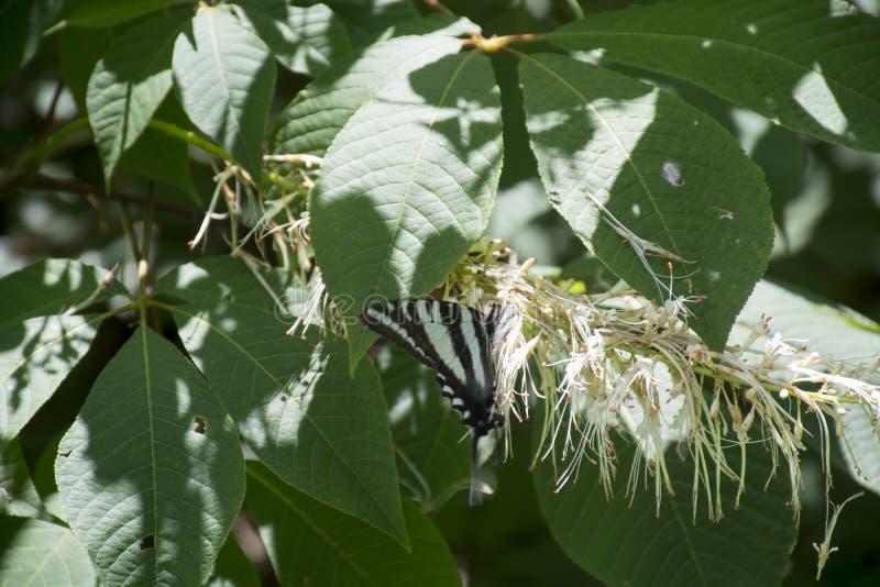 Zebra swallowtail butterfly feeding. A zebra swallowtail butterfly feeding on the flowers of a butterfly bush stock photography