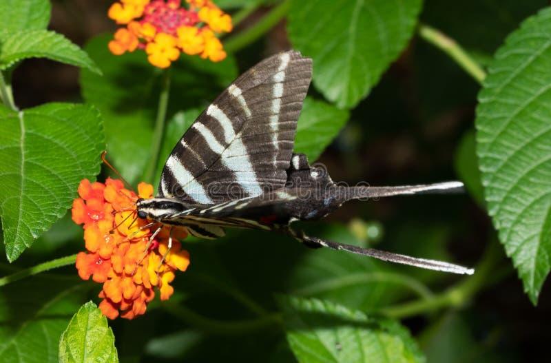 Zebra Swallowtail butterfly feeding on a Lantana flower. Zebra Swallowtail butterfly feeding on an orange Lantana flower stock photos