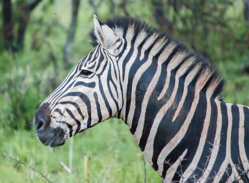 Zebra. Taken at a big 5 game reserve in Kwazulu Natal Southafrica royalty free stock photos