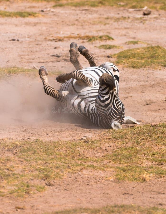 Download Zebra taking dust bath stock image. Image of rolling, animal - 7692171