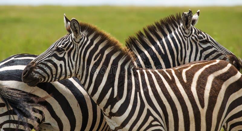 Zebra, Tanzania, Africa fotografia stock