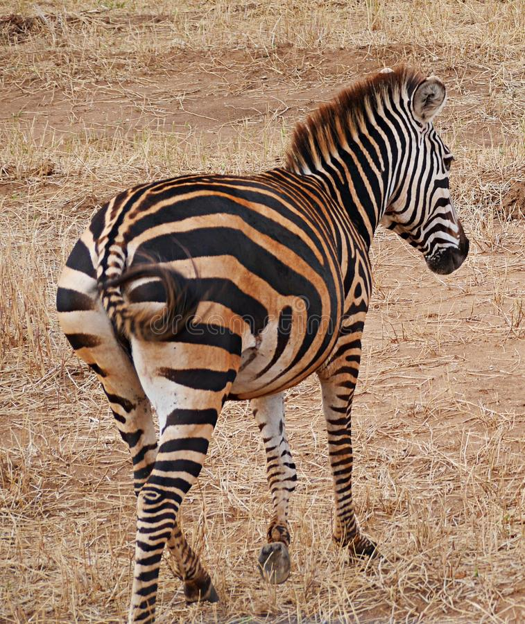 Zebra close-u on Tarangiri safari - Ngorongoro. Zebra on Tarangiri safari - Ngorongoro in Africa, beautiful view of Africa, jeep safari in Tarangiri - Ngorongoro royalty free stock photo