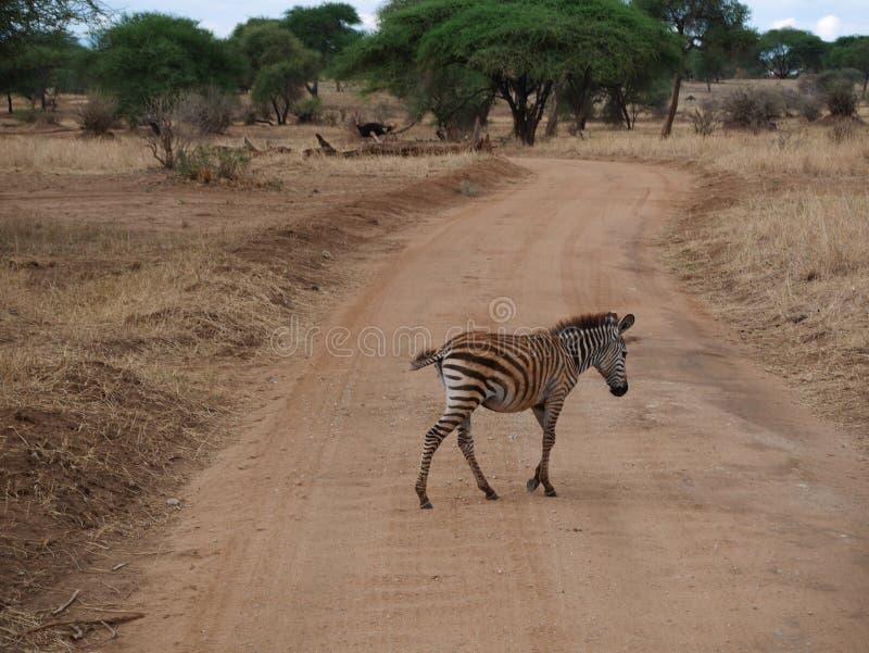 Zebra close-u on Tarangiri safari - Ngorongoro. Zebra on Tarangiri safari - Ngorongoro in Africa, beautiful view of Africa, jeep safari in Tarangiri - Ngorongoro royalty free stock photos