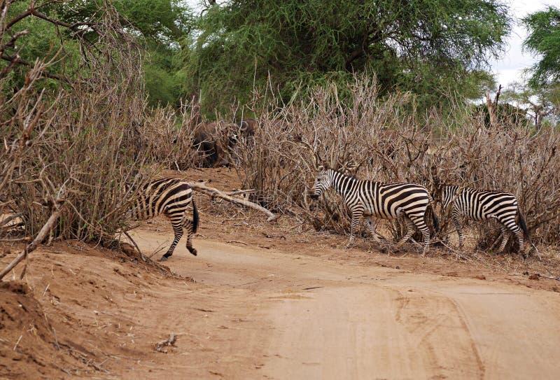 Zebra close-u on Tarangiri safari - Ngorongoro royalty free stock photos