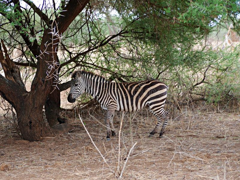 Zebra close-u on Tarangiri safari - Ngorongoro. Zebra on Tarangiri safari - Ngorongoro in Africa, beautiful view of Africa, jeep safari in Tarangiri - Ngorongoro stock images