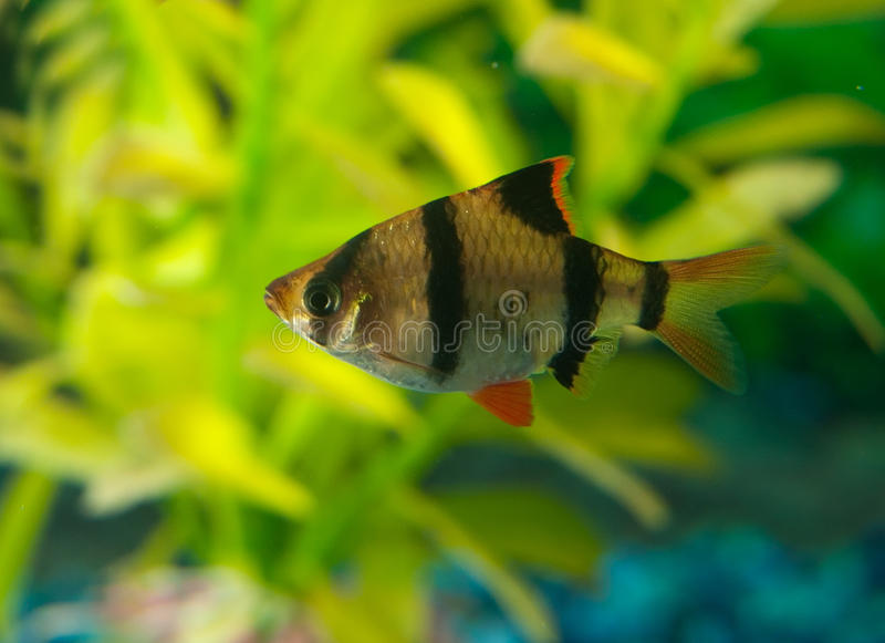 Zebra Tetra fish