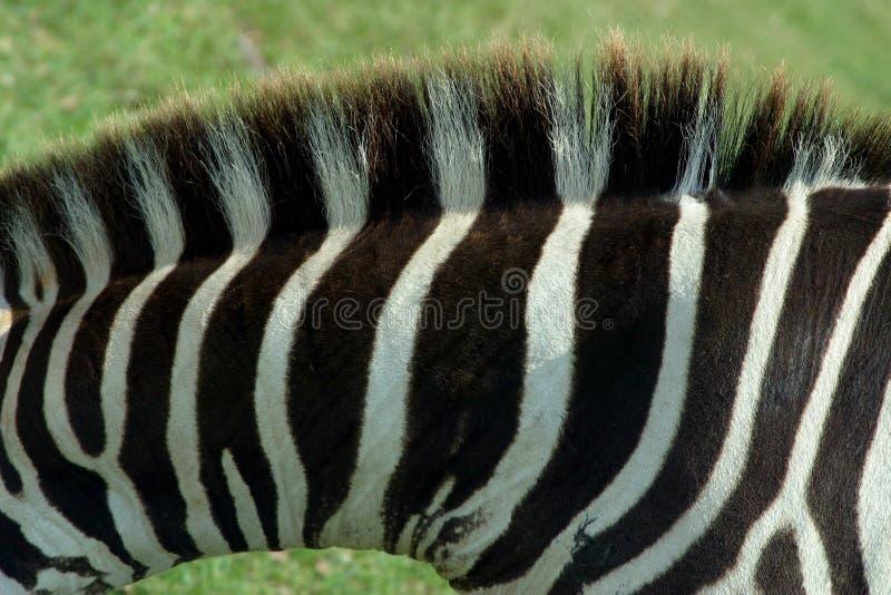 Download Zebra Texture 1 stock image. Image of white, animal, africa - 47863