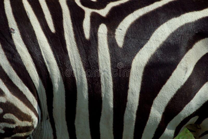 Zebra Texture 2 royalty free stock photography