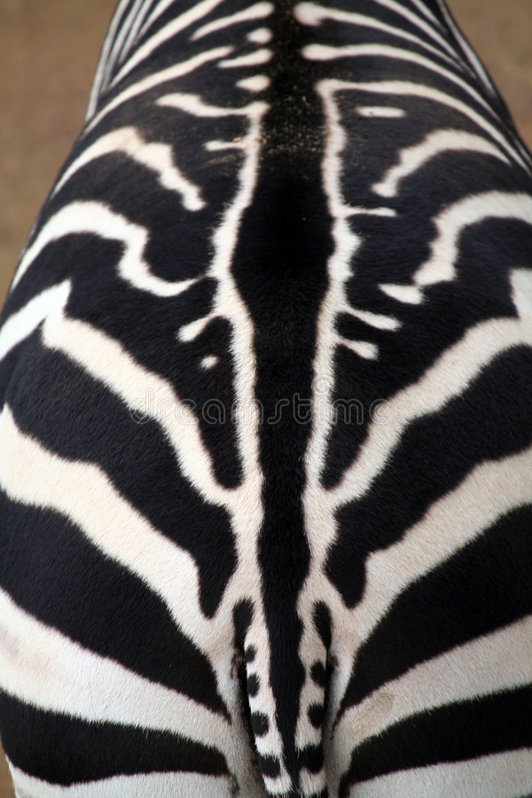 Zebra texture royalty free stock photography