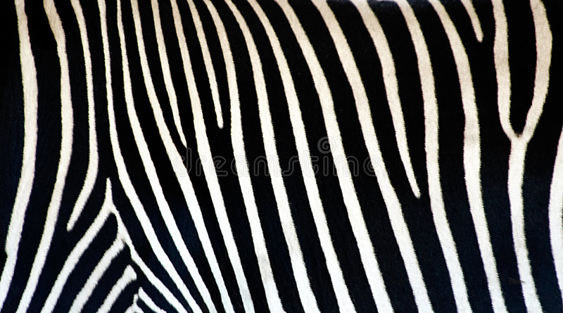 Zebra texture royalty free stock images