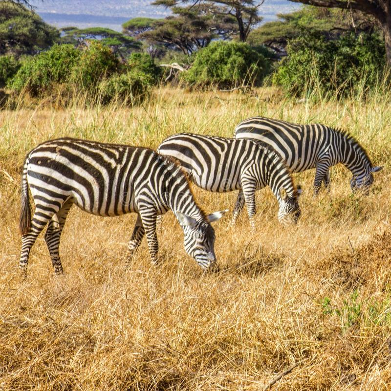 Three zebras grazing in the wild stock photography