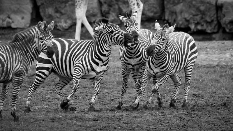 Zebra tiff. Zebras squabbling at Longleat safari park in Wiltshire, UK royalty free stock image