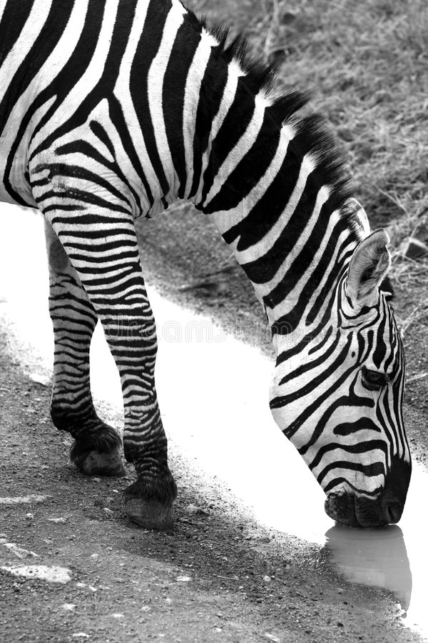 The zebra to drink water stock photos