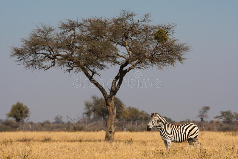 Zebra and tree