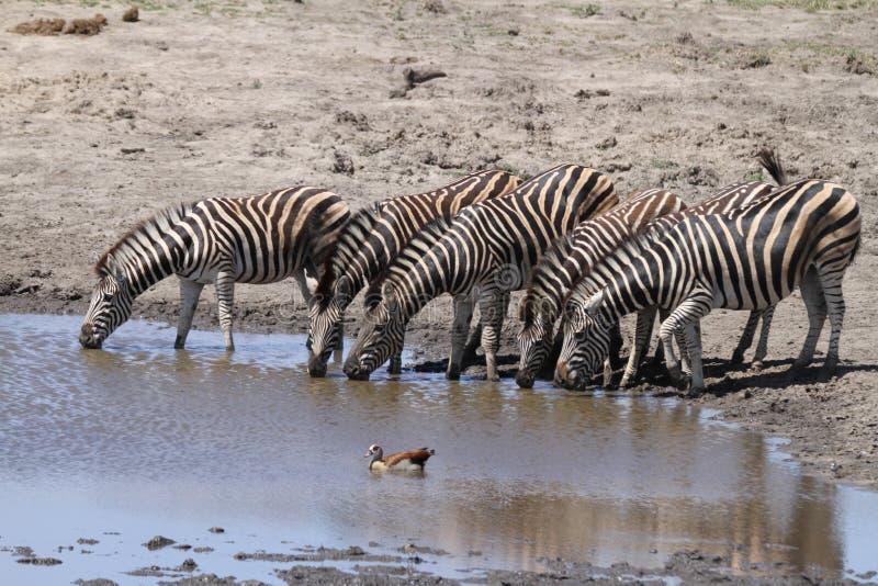 Zebra-Trinken lizenzfreie stockfotografie