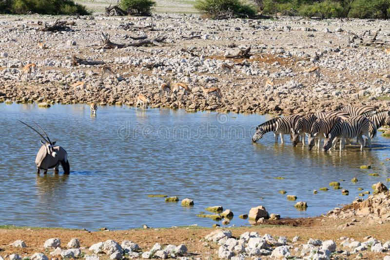 Zebra-Trinken stockfotos