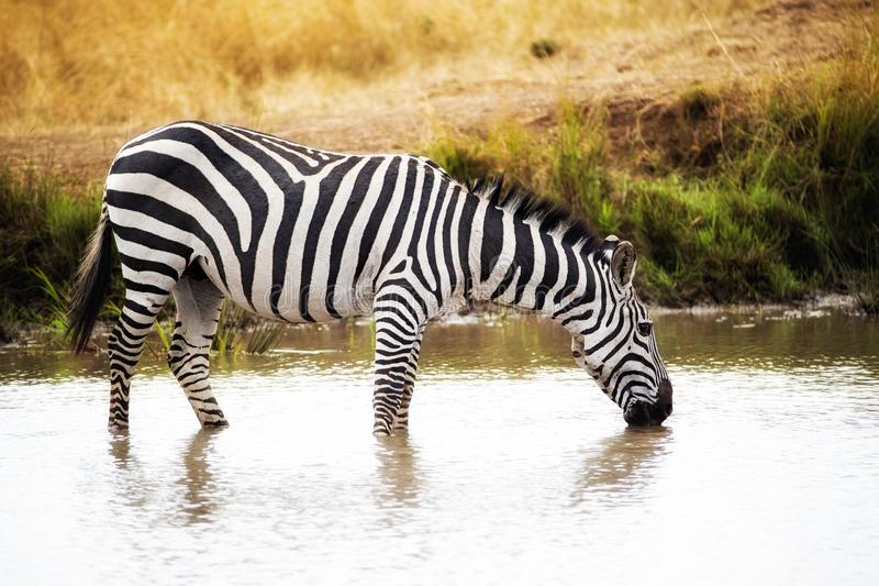 Zebra-Trinkwasser in Kenia Afrika stockfoto