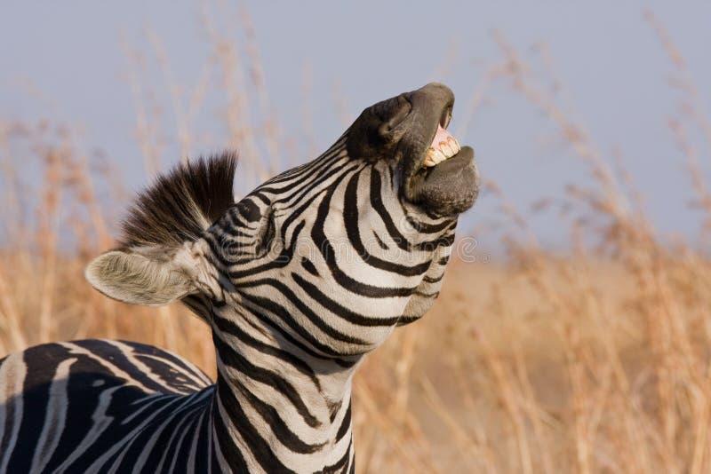 zebra uśmiech. obraz stock