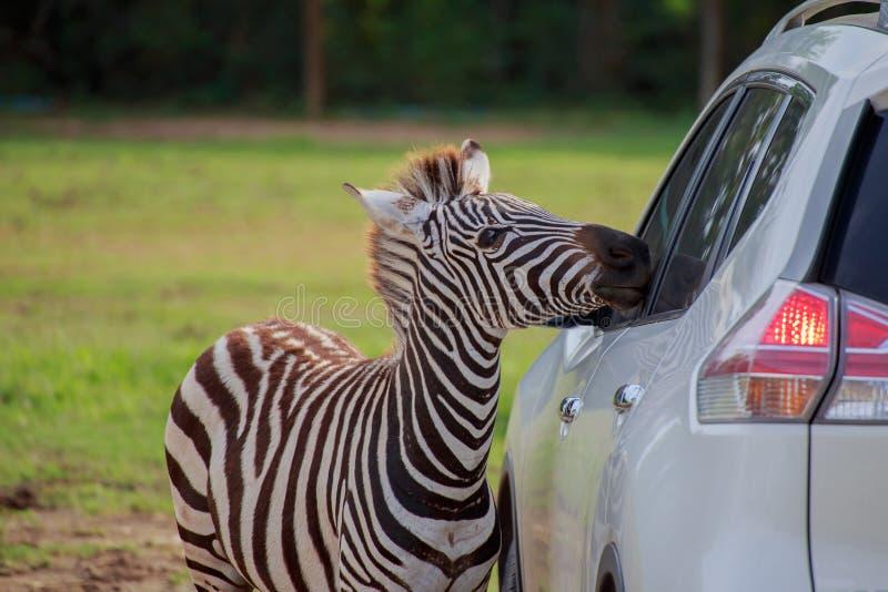 Zebra und Auto stockfotos