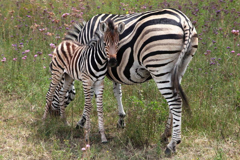 Zebra und Fohlen stockfotografie