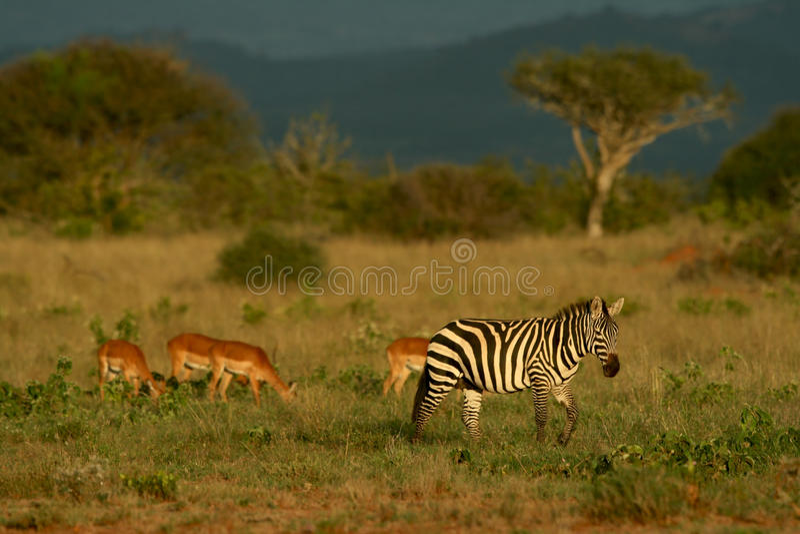 Zebra und Impala stockfotografie