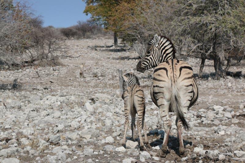 Zebra und Junge lizenzfreies stockbild