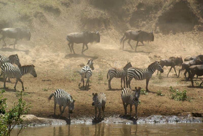 Zebra und Wildebeest in Mara-Fluss, Kenia stockfotos