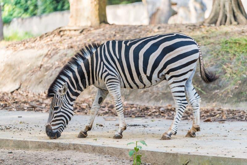 A zebra under captivity in a private zoo. A zebra under captivity is standing in a private zoo stock photo