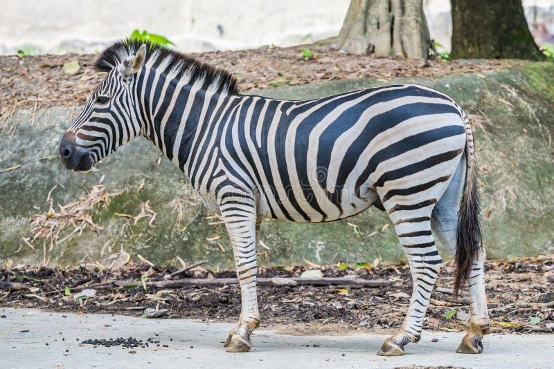 A zebra under captivity in a private zoo. A zebra under captivity is standing in a private zoo stock image