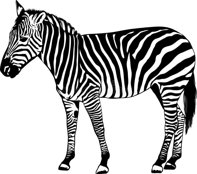 Zebra Vector Illustration Royalty Free Stock Images