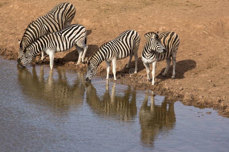 Zebra vier an der Wasserstelle lizenzfreies stockbild