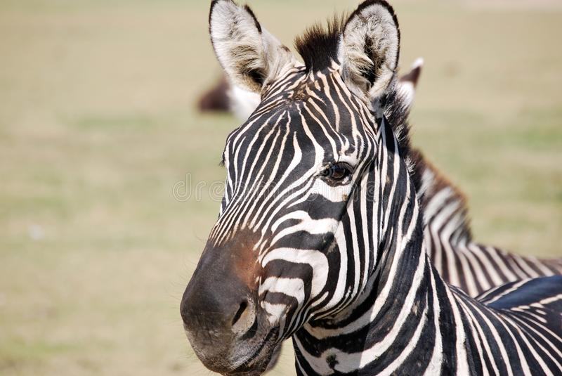 ZEBRA W DZIKIM safari fotografia stock