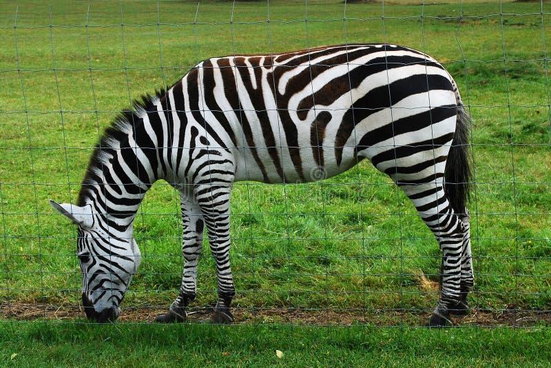 Zebra w Grutas parku blisko Druskininkai miasteczka zdjęcia royalty free