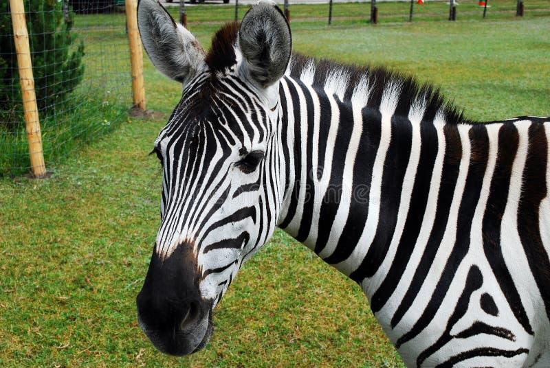 Zebra w Grutas parku blisko Druskininkai miasteczka fotografia stock