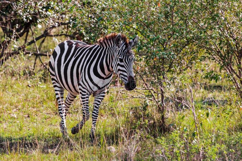 Zebra w krzaku mara masajów savannah Kenja, Afryka zdjęcie stock