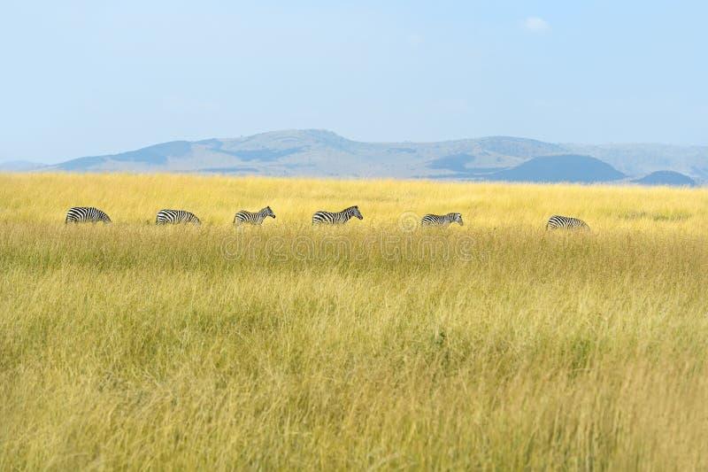 Zebra w Masai Mara obraz royalty free
