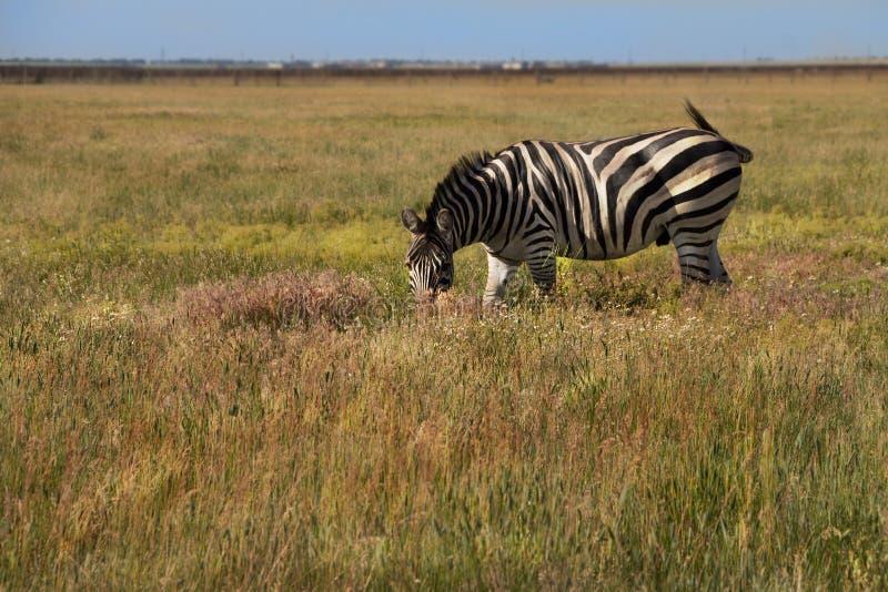 Zebra w natury siedlisku Przyrody scena od natury obraz stock