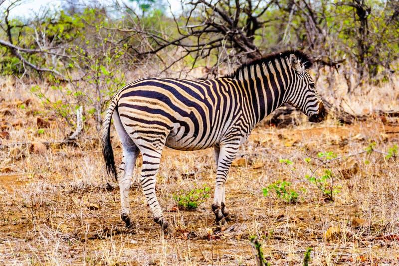Zebra w susza dotkniętym sawannowym terenie środkowy Kruger park narodowy zdjęcia stock