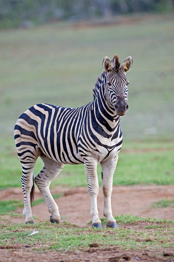 Zebra-Wache stockfoto