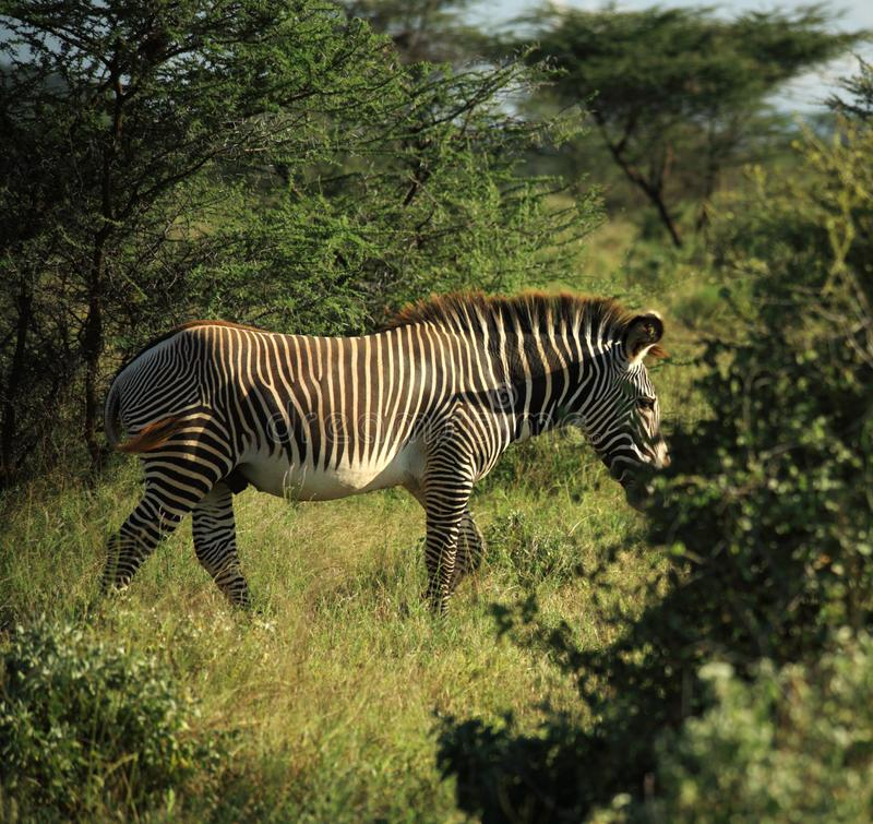Download Zebra Walking Through The Trees Stock Photo - Image: 5304194
