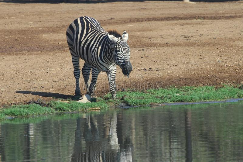 Zebra water near river royalty free stock images