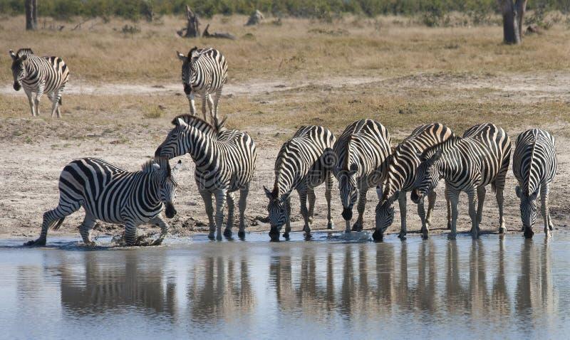 Zebra at a waterhole in Botswana. Zebra at a waterhole in the Savuti region of Botswana royalty free stock image