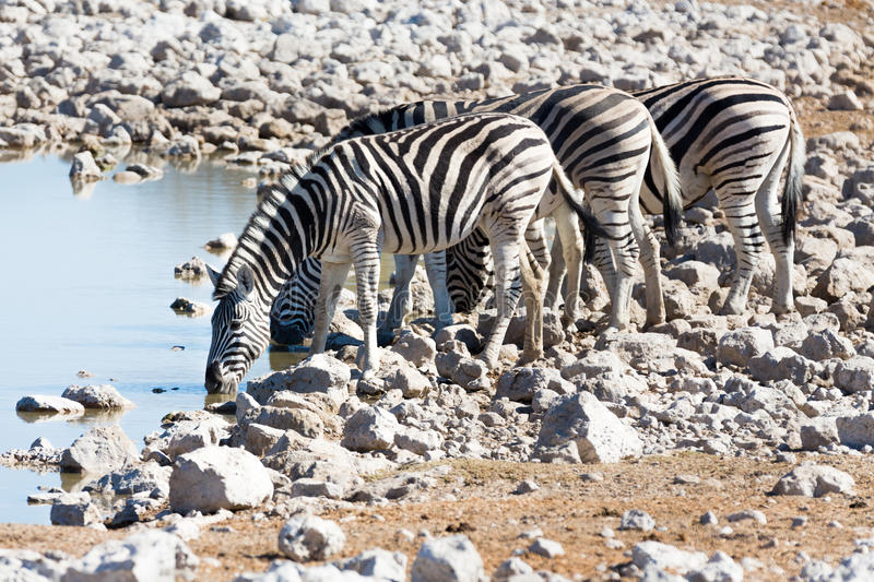 Zebra at waterhole. Side view of group of zebras at waterhole stock photos
